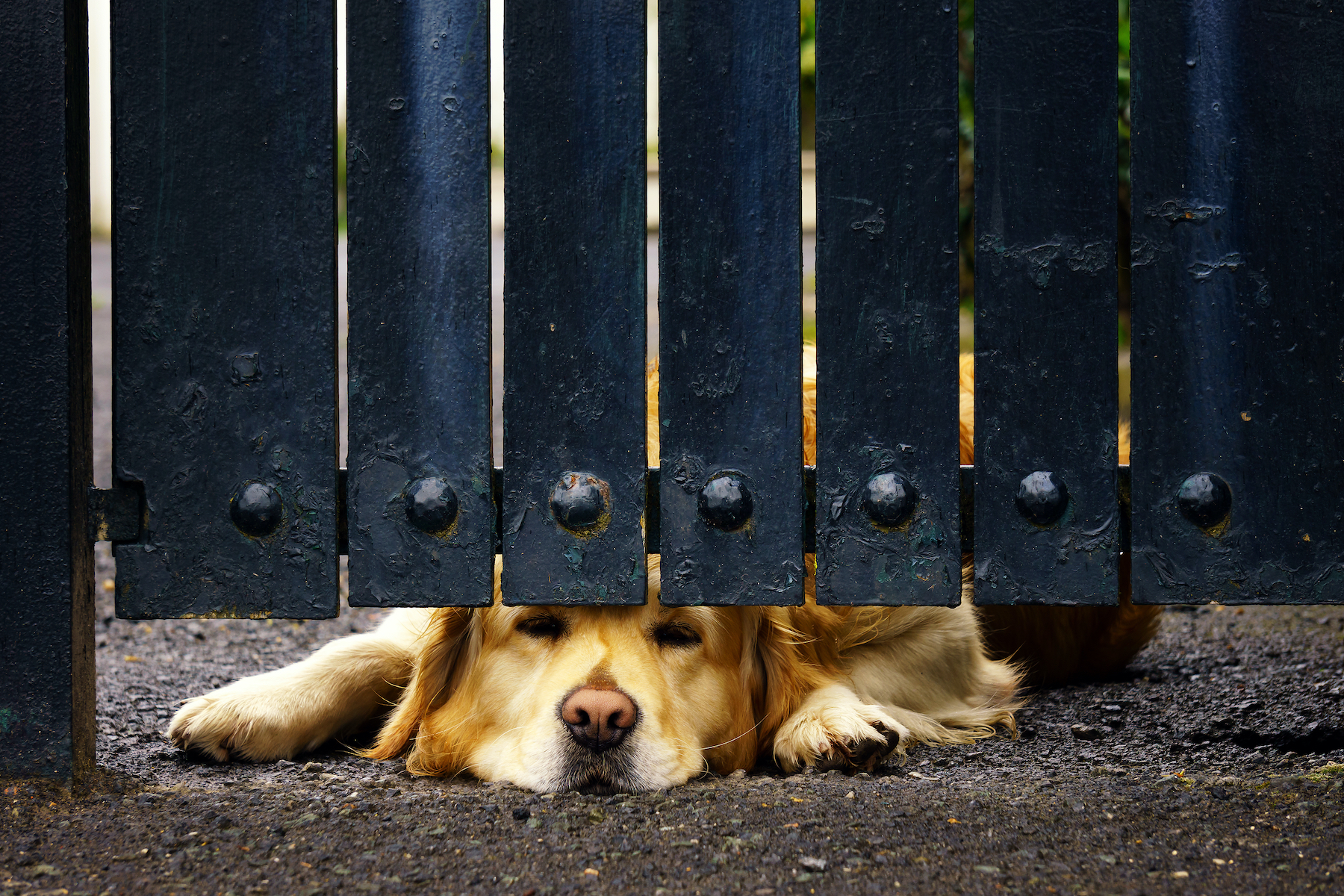 guard dog bored under gate