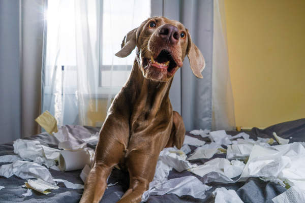Canva - Weimaraner dog the dog is playing on the bed. ripped the paper. naughty but playful dog portrait.