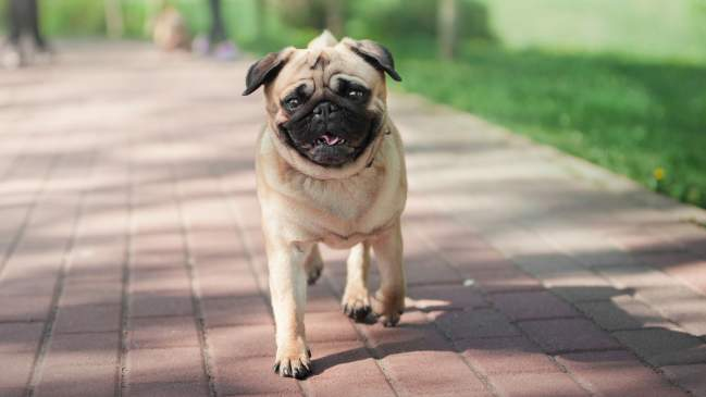 7 Dog Breeds Perfect For City Life