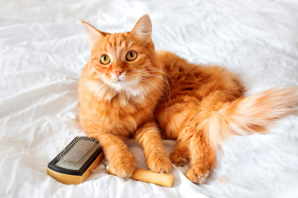 Canva - Ginger cat lies on bed with grooming comb.