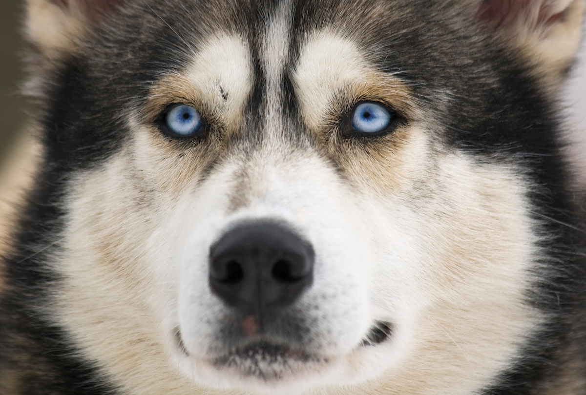 Canva - Siberian Husky Face