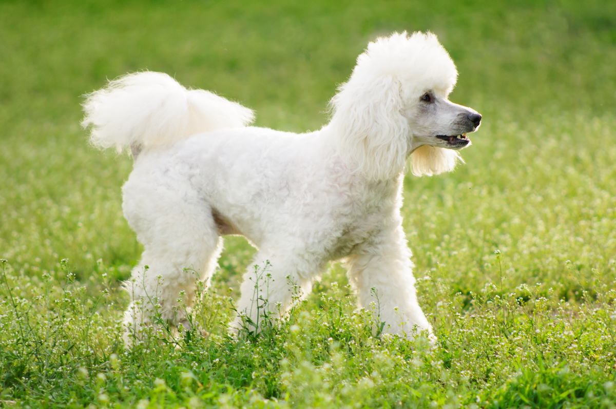 Canva - White poodle dog on green grass field