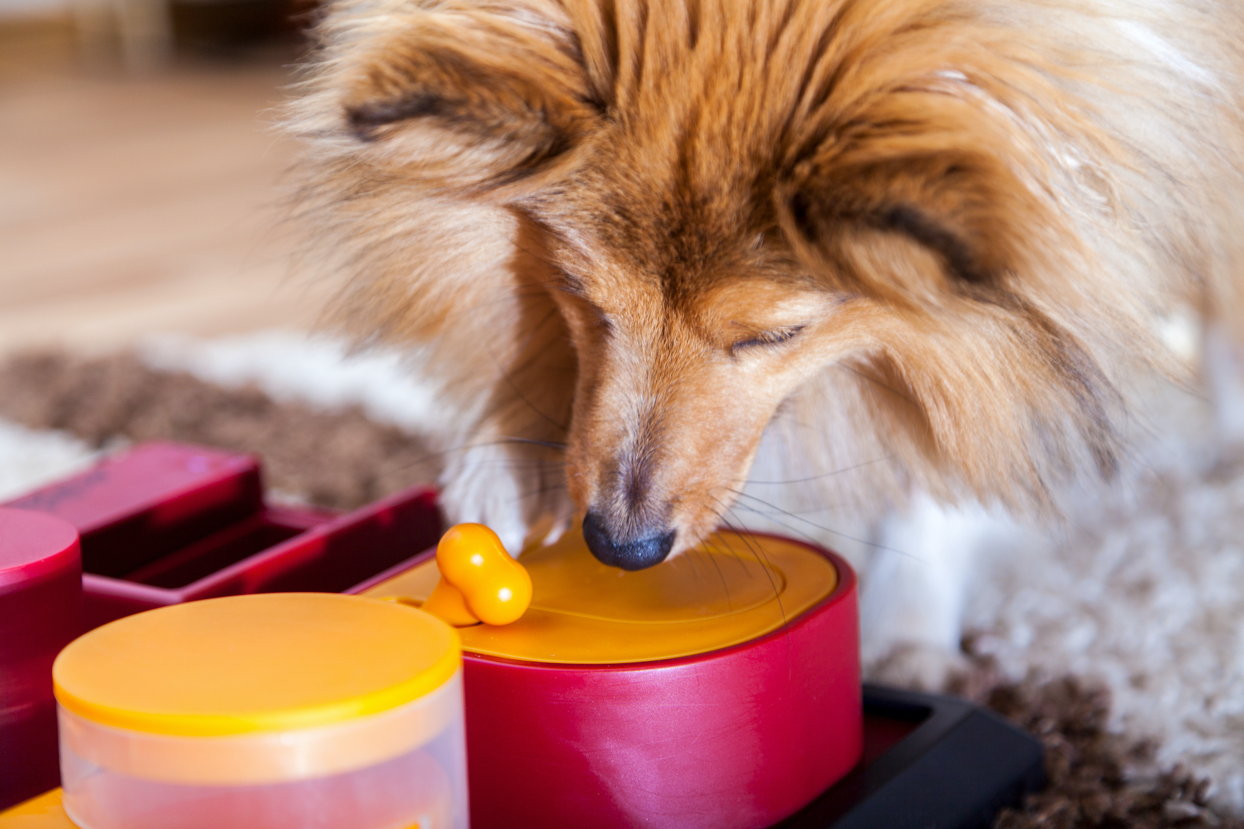 Canva - a Shetland Sheepdog on a dog toy