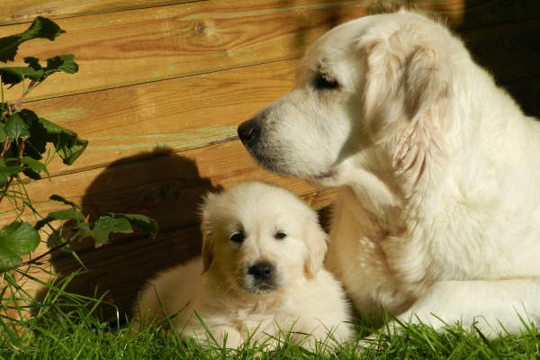 dog pregnancy pawp: Golden Retriever Dog and a Puppy