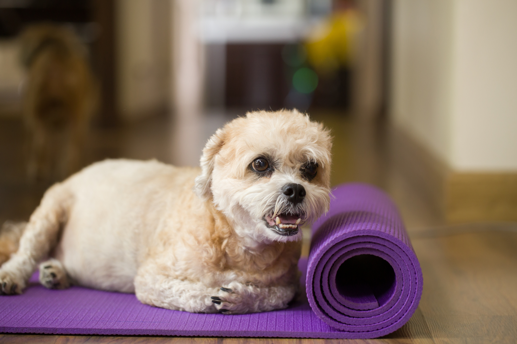 Canva - Dog on yoga mat