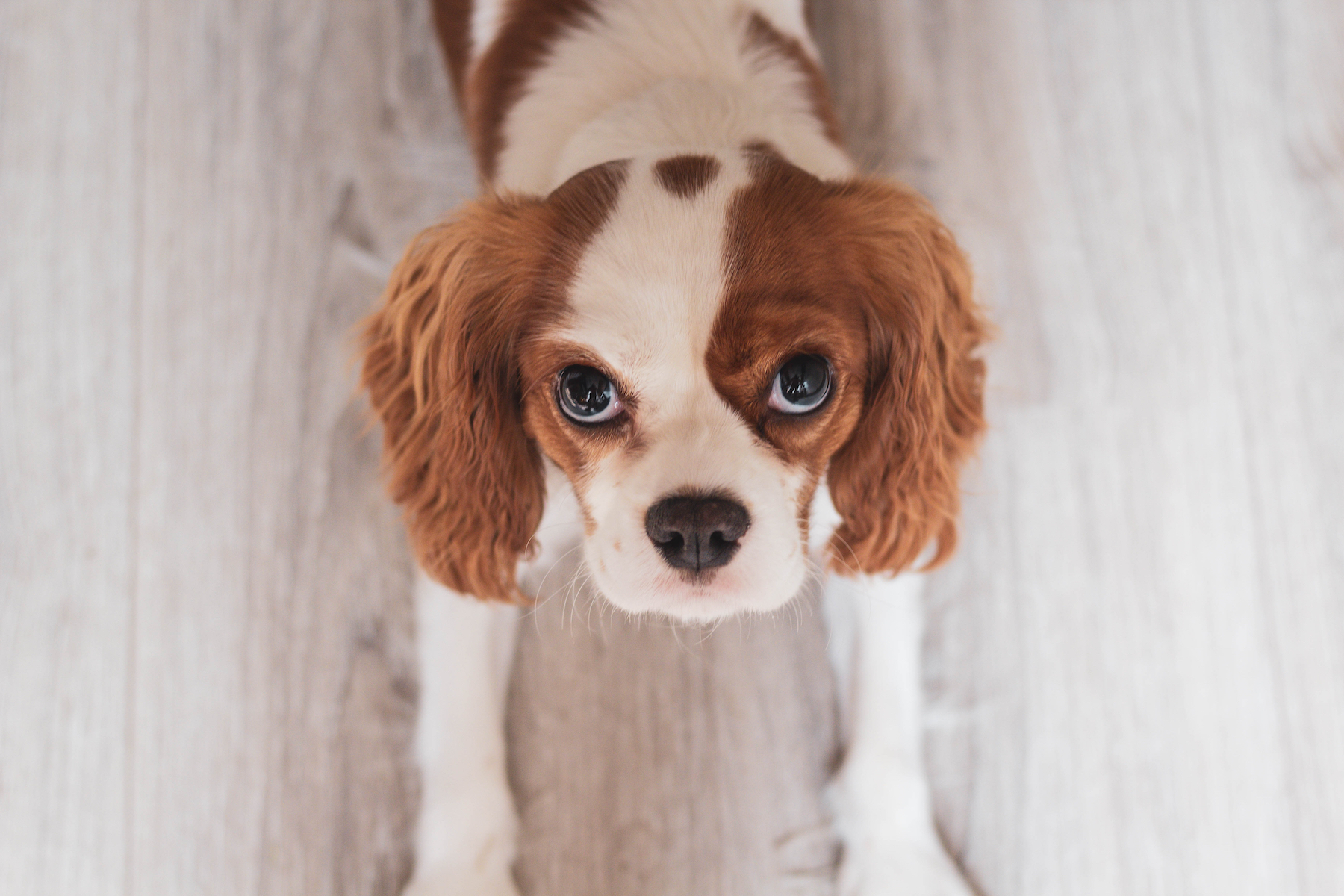 Canva - White and Red Cavalier King Charles Spaniel Puppy Close-up Photo