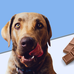 Dog Ate Chocolate? What To Do If Your Dog Ate Chocolate & When To Worry