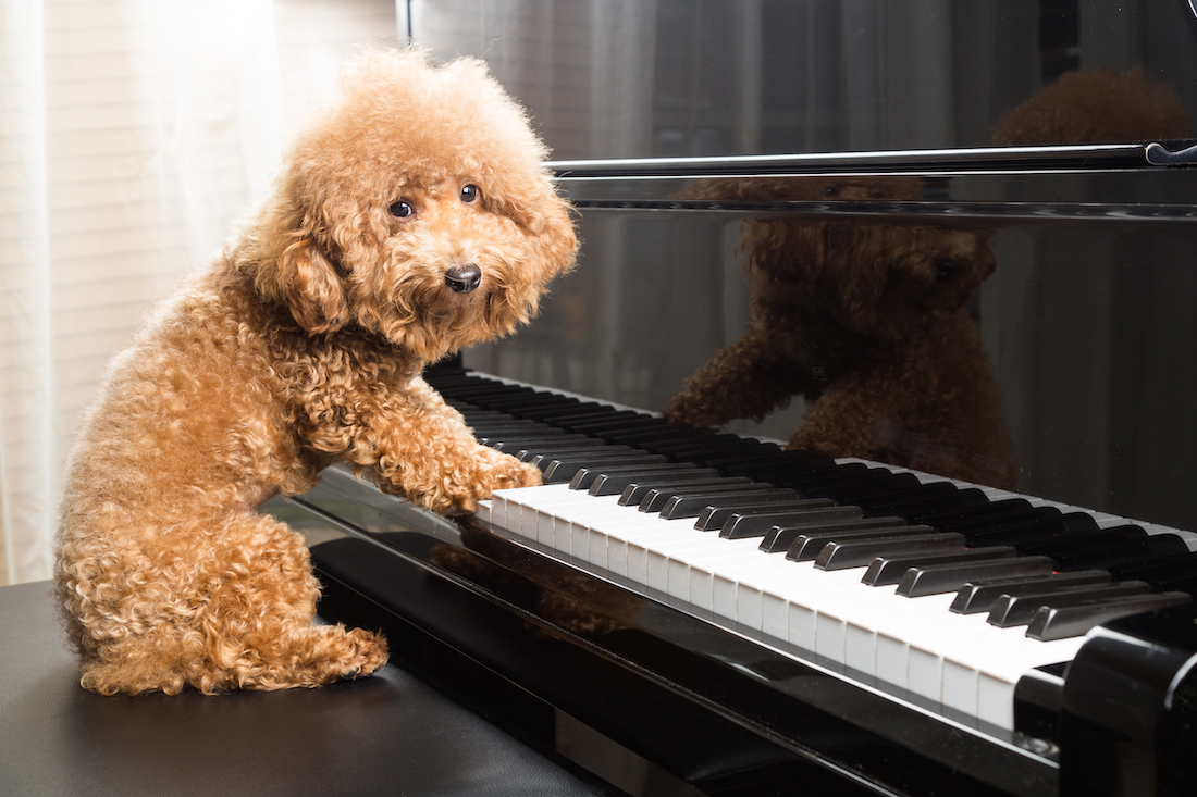 Canva - Concept of cute poodle dog preparing to play grand piano