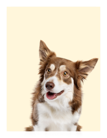 Dog on a yellow background