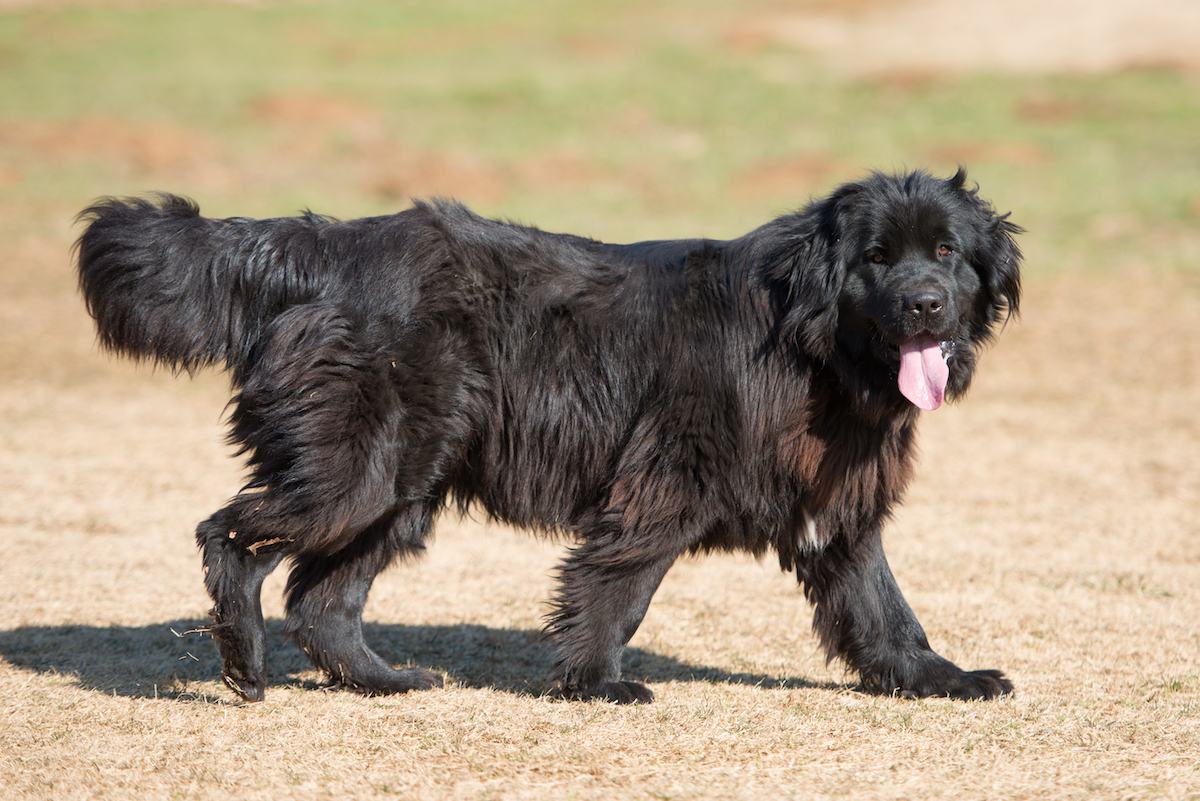 Canva - Newfoundland dog