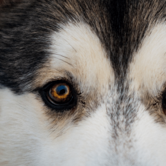 Dog Eye Infections: Why Your Dog Has An Eye Infection & How To Help