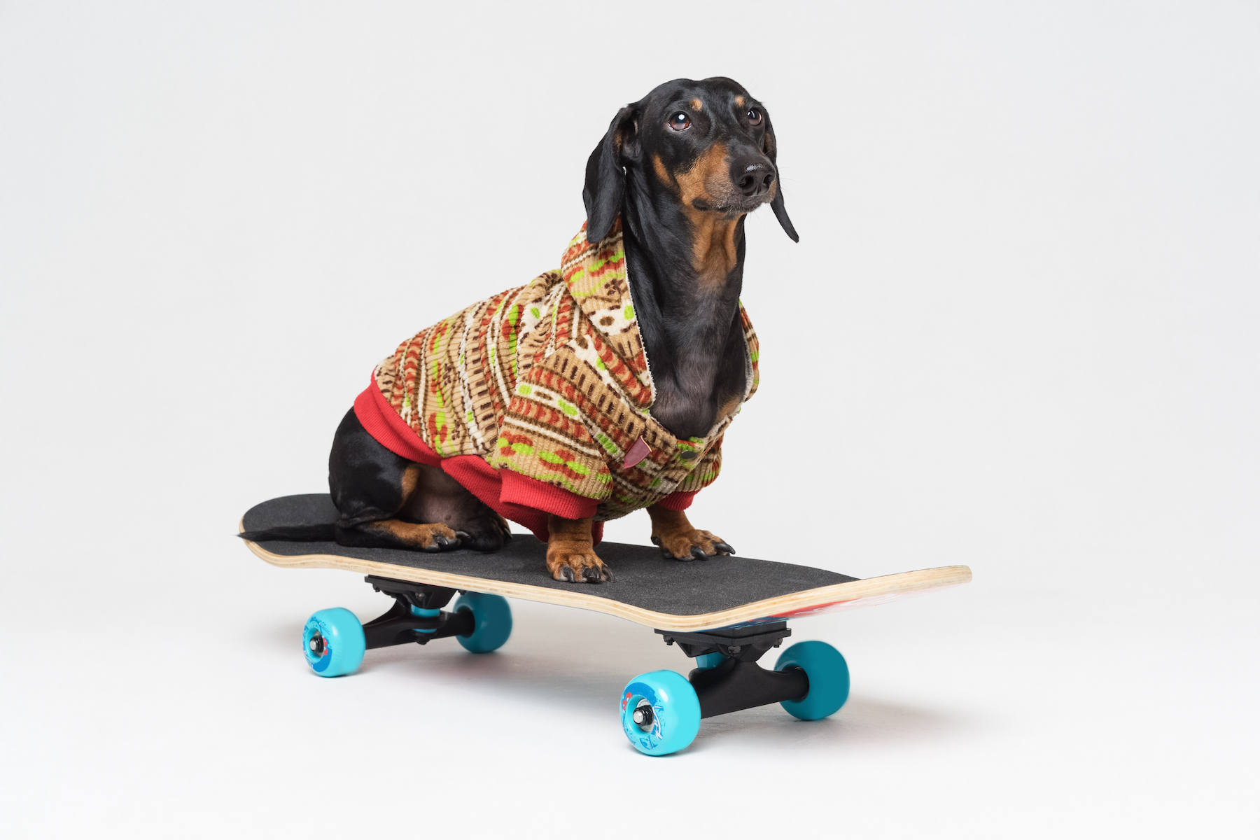 Canva - dog breed Dachshund, black and tan, sits on skateboard,dressed in a color sweater, isolated on gray background. Skateboarding dog.
