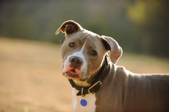 Canva - American Pit Bull Terrier dog