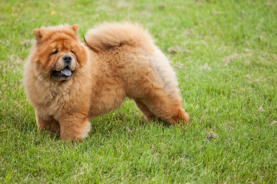 Canva - Chow-chow dog