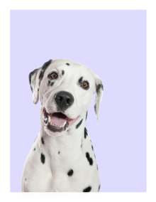 Dalmatian on a purple background