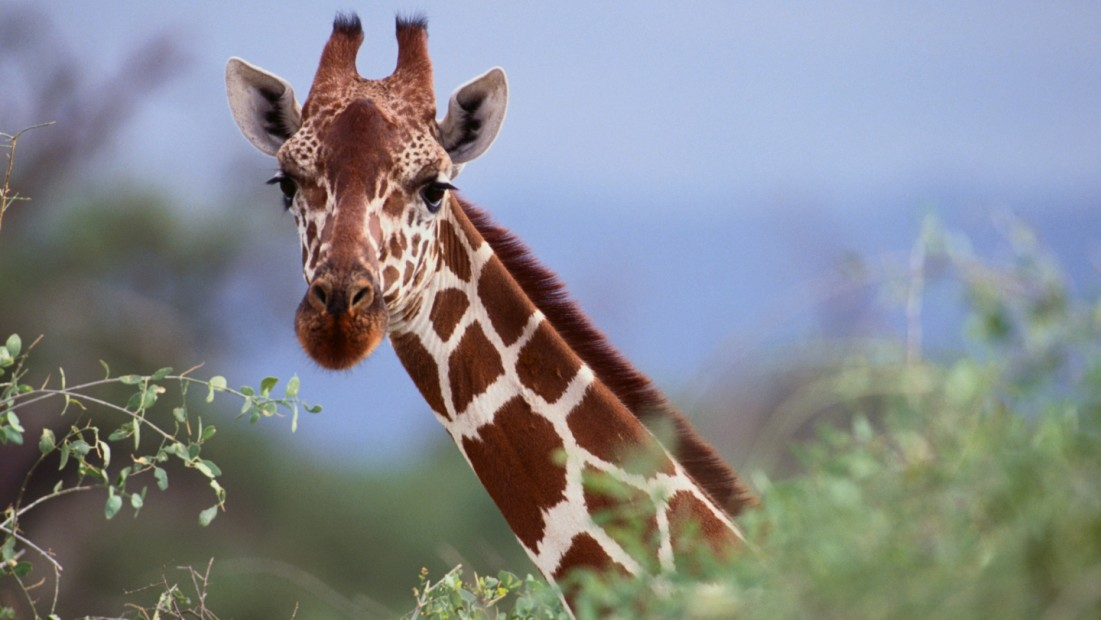 11 Facts About Giraffes | DoSomething.org