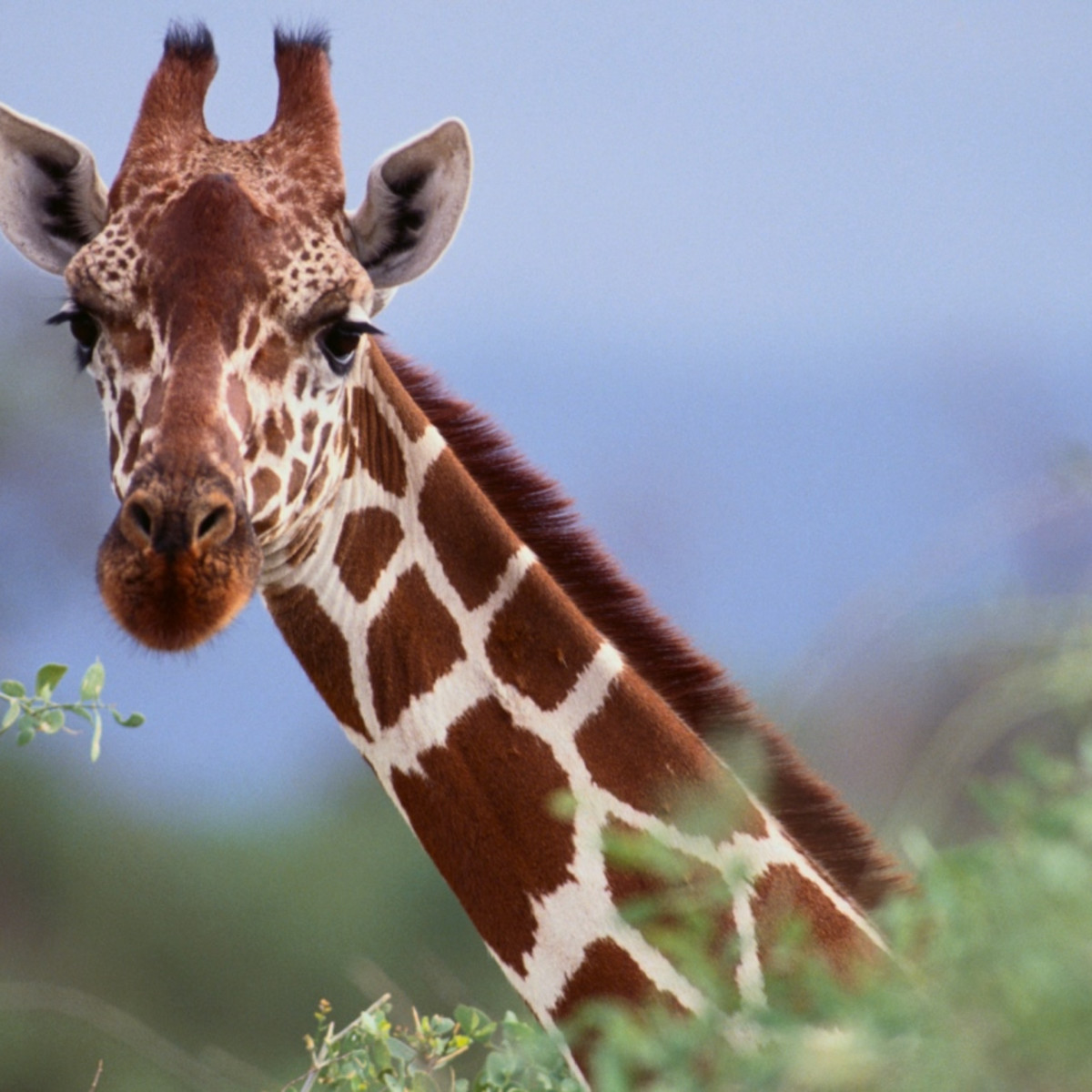 11 Facts About Giraffes Dosomething Org