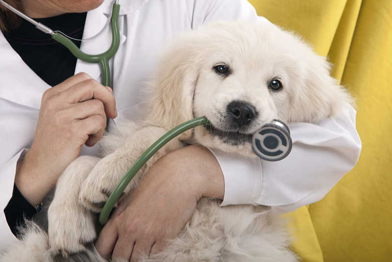 Dog Chewing on Stethoscope at Vet Visit