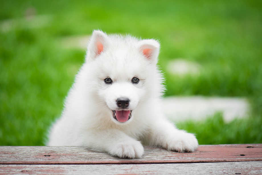 Fluffy white-puppy resting paws on bench