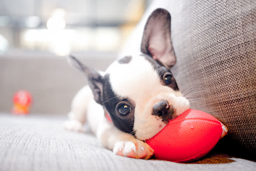 French bulldog puppy chewing on football