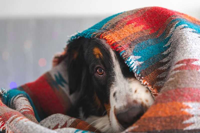 Dog with Anxiety Hiding Under Blanket