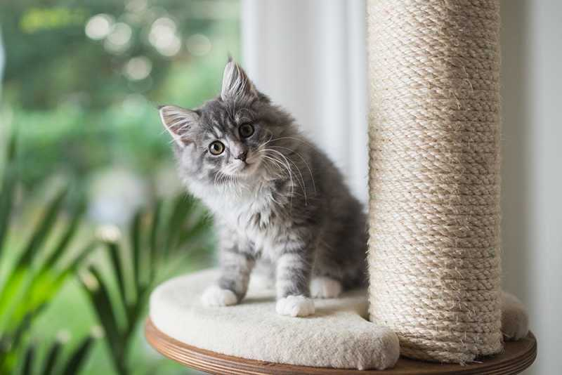 Kitten on scratching post