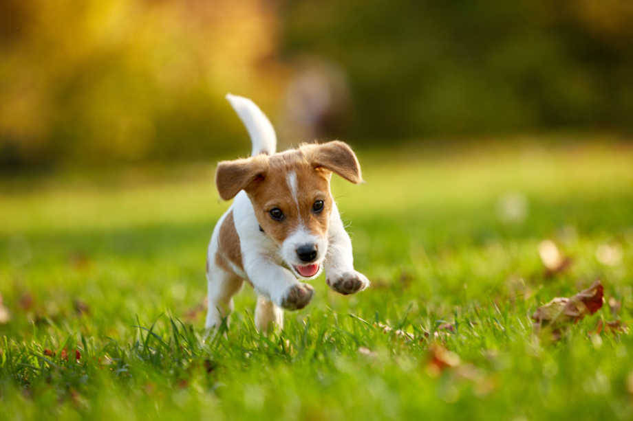 Pupping running in the grass