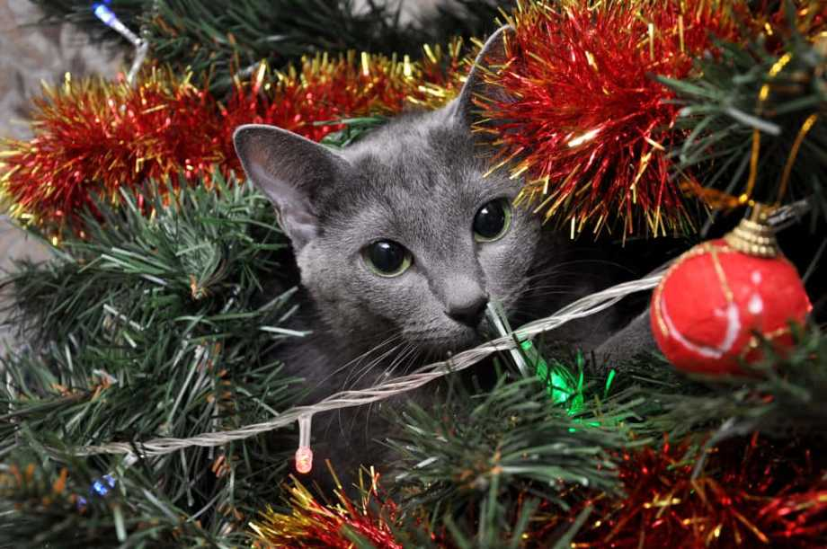 Cat in a Christmas Tree Holiday Hazards