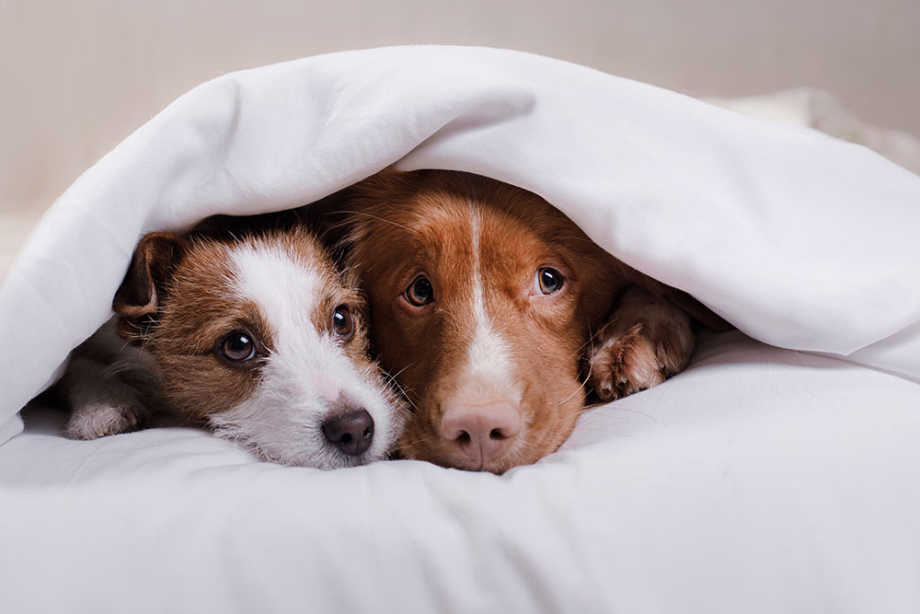Dogs Hiding Under Covers Scared of Fireworks