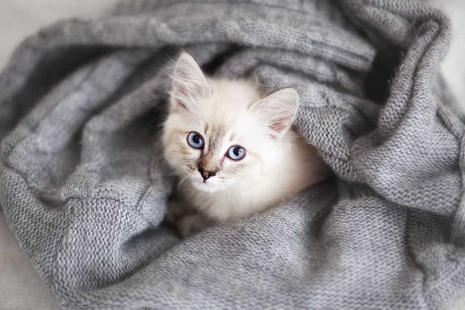 White Kitten Wrapped in a Blanket