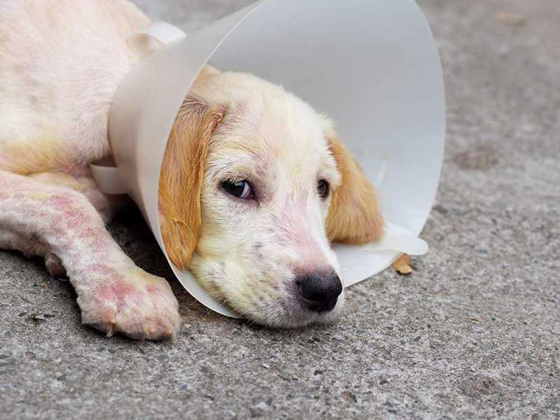 Puppy with sarcoptic mange