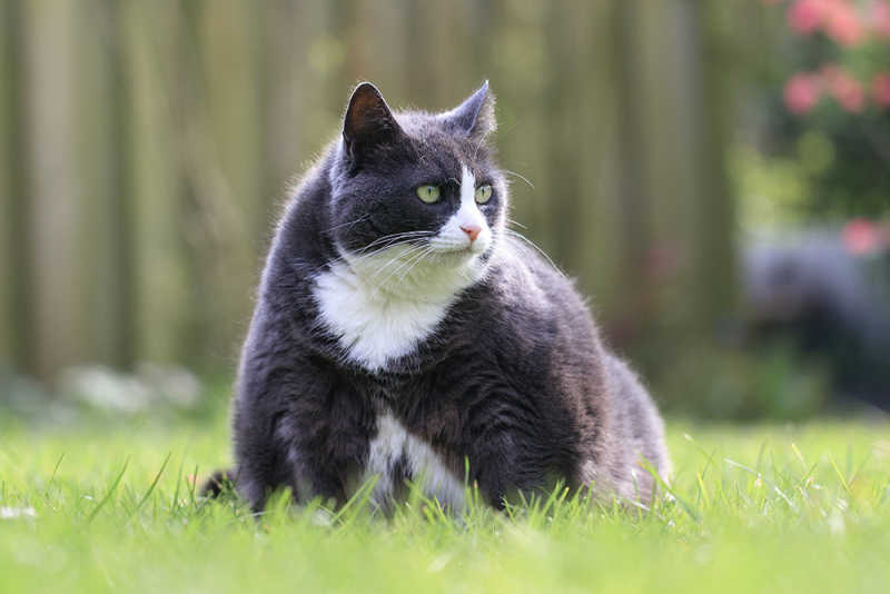 Overweight Cat in the Grass
