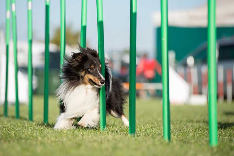 Dog Jumping and Weaving Through Poles Agility