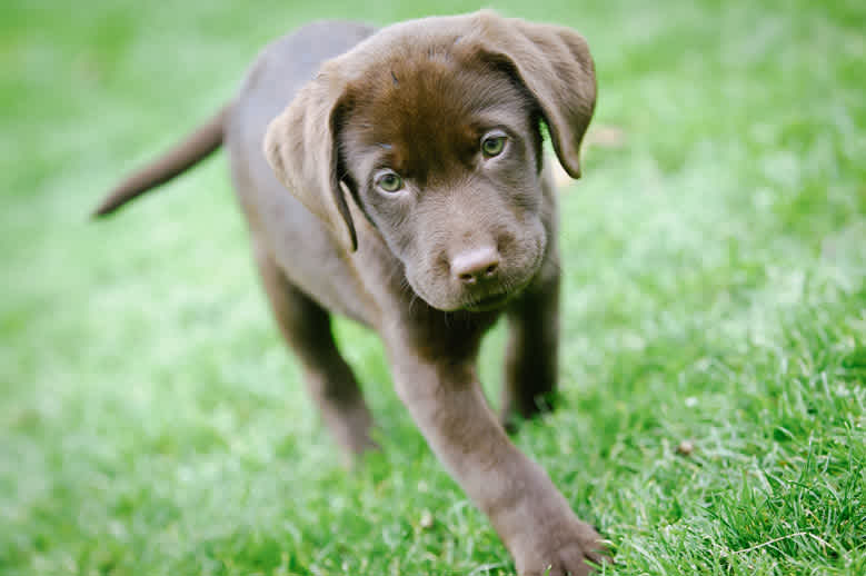 Lab puppy walking in grass