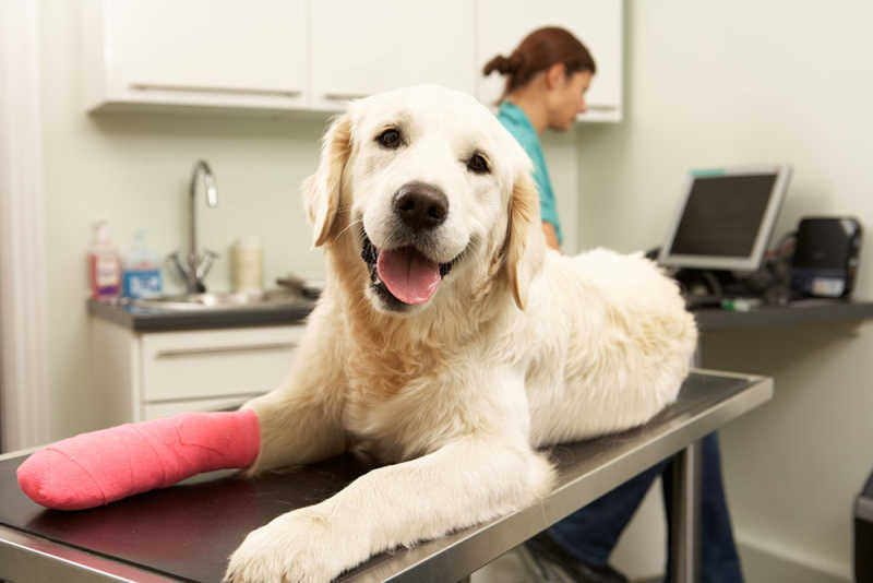 Dog with bandaged leg visiting vet