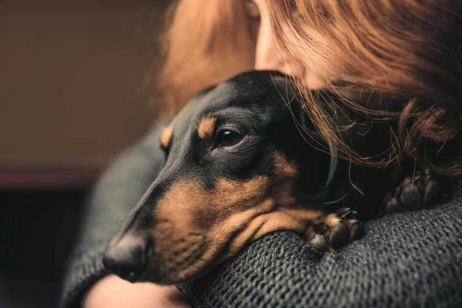 Sad daschund with dog flu being hugged by owner