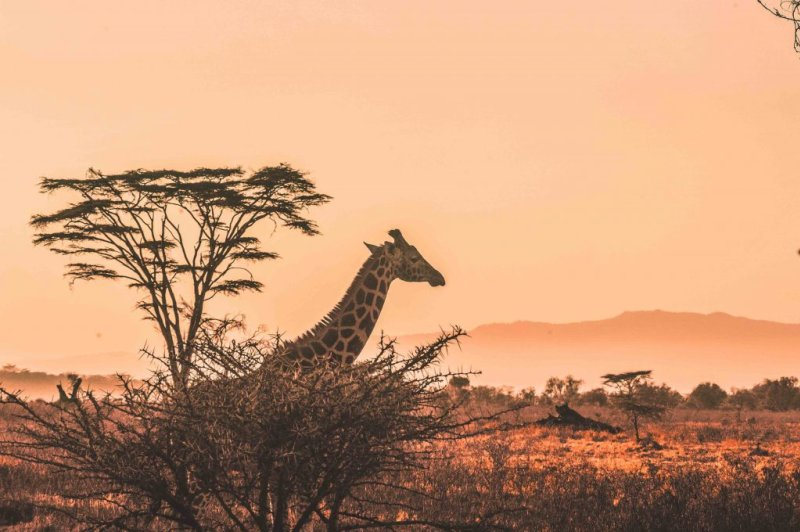 Giraffe by thorn tree at sunset