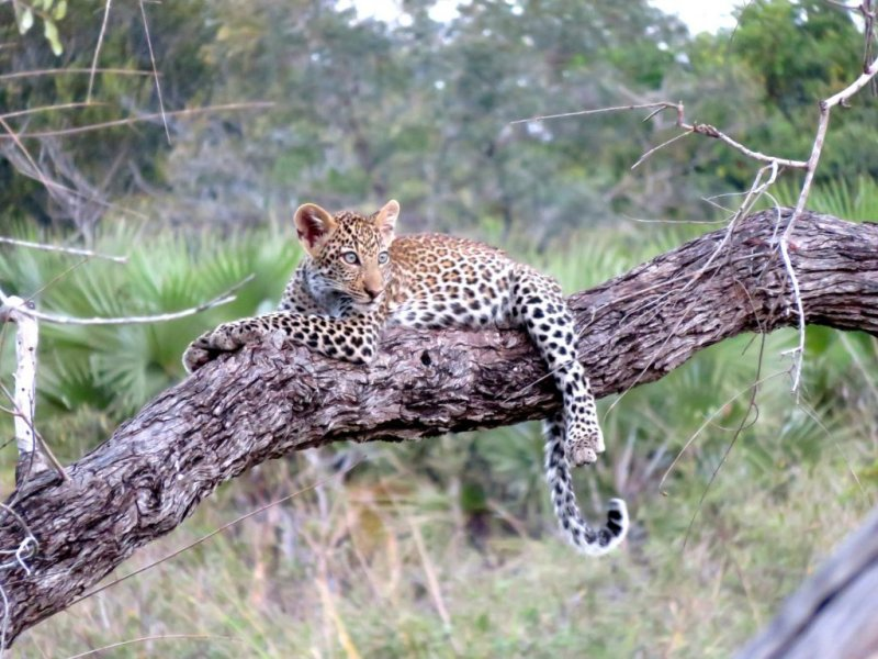 young leopard in a tree