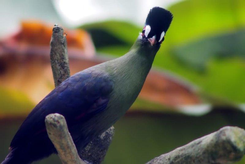Turaco bird, Bwindi Impenetrable National Park, Uganda