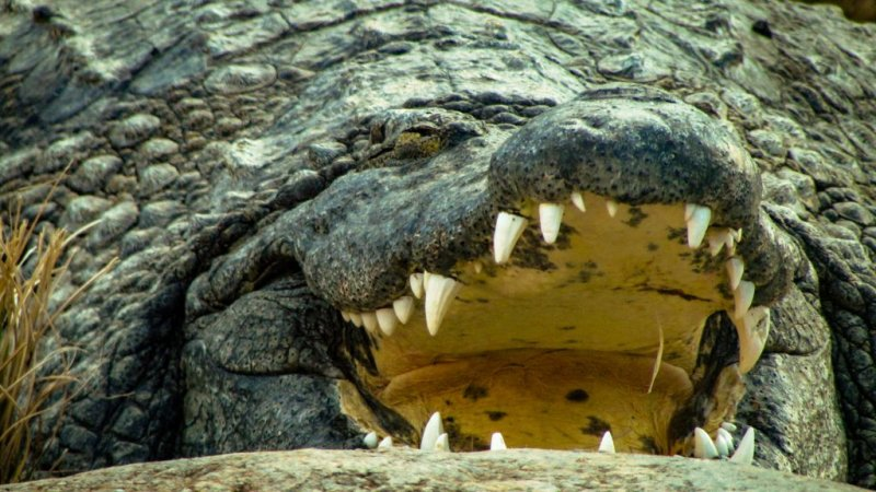 Open mouth of crocodile