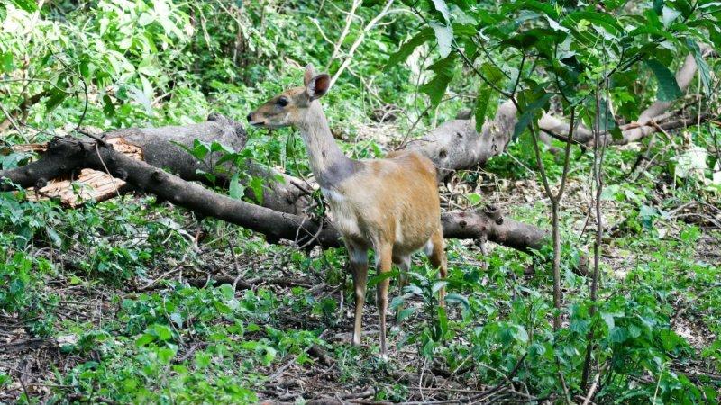 bushbuck in forest of Lake Manyara National Park