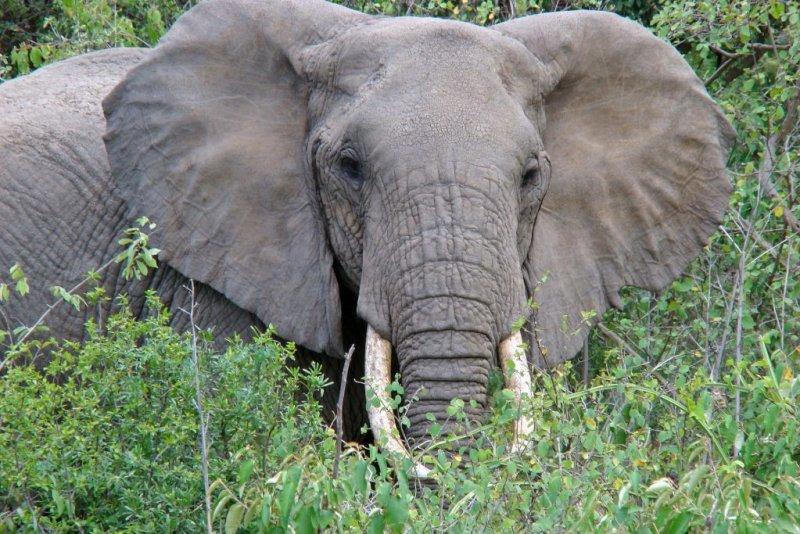 elephant in bush at Lake Manyara