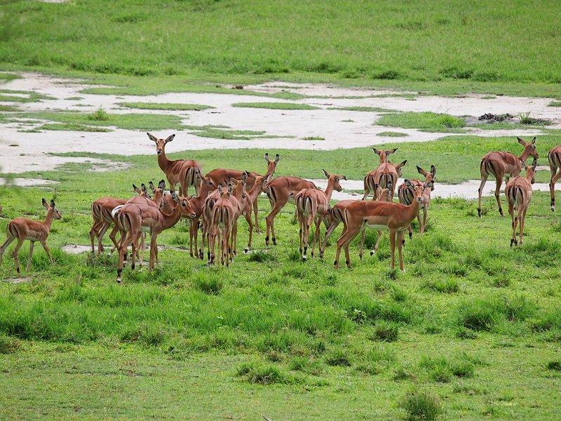 impalas, why we love Lake Manyara National Park
