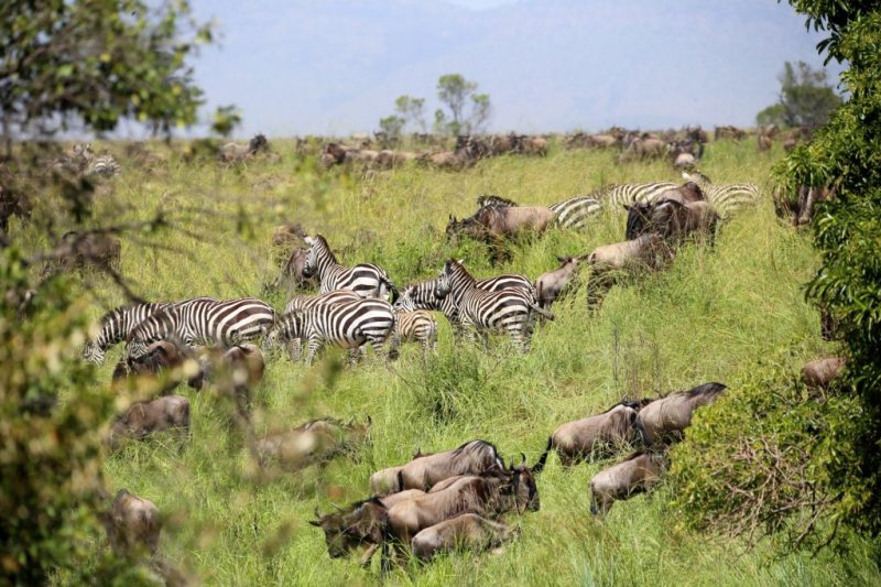 Zebras and wildebeests among tall grass