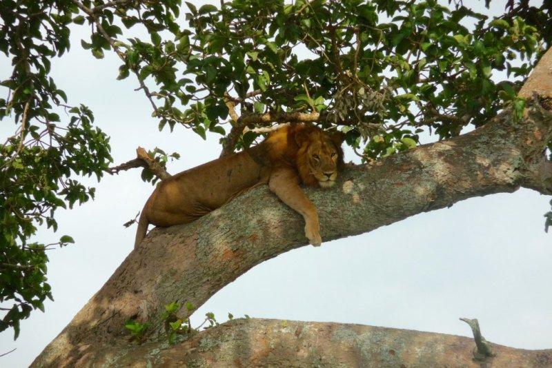 lion in tree in Uganda, Best time to visit Uganda