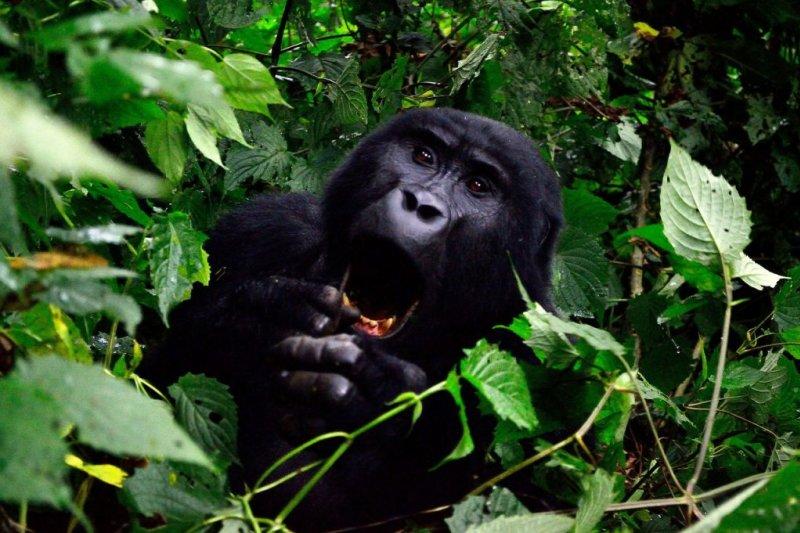 Close up of a mountain gorilla yawning in Bwindi Forest, Uganda