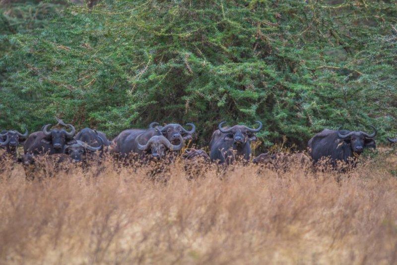 Buffaloes in Ngorongoro crater - 2020 adventure trip idea