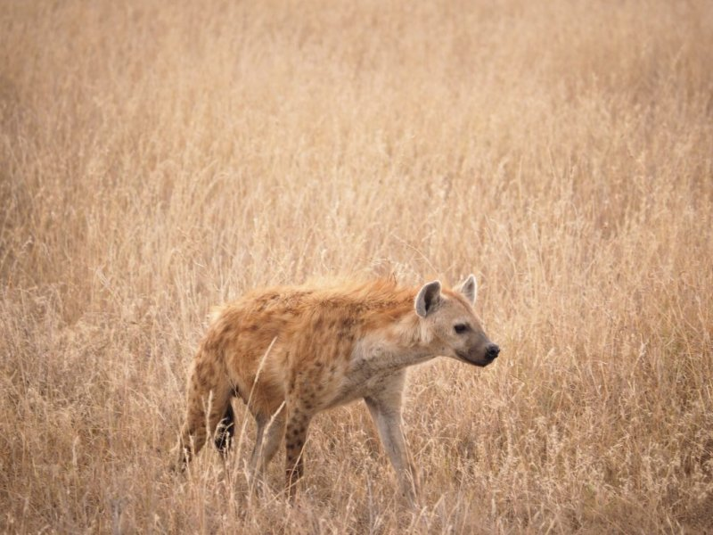 Hyena Serengeti National Park