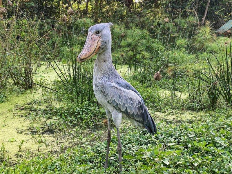 Shoebill stork (bird) in Entebbe's Uganda Wildlife Conservation Education Centre