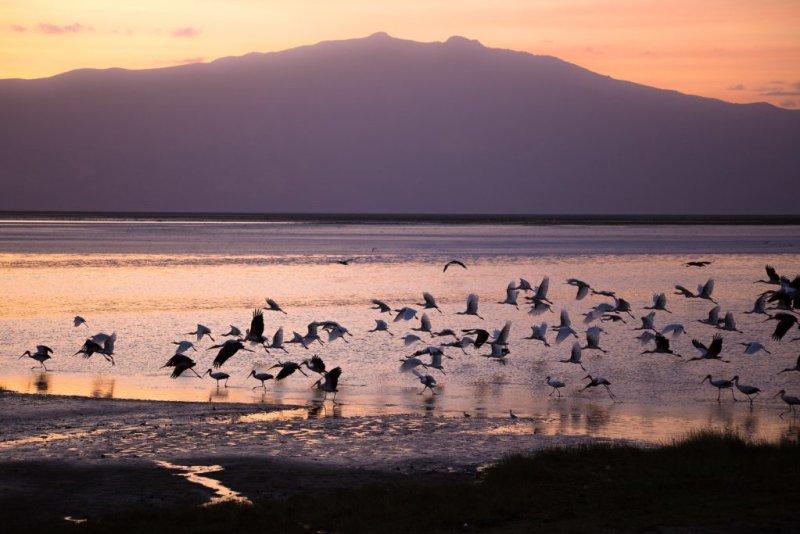 Storks on Lake Natron at sunrise